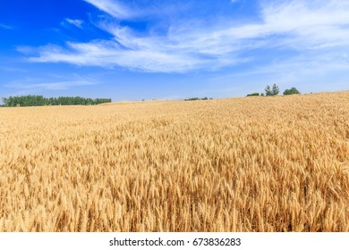 Ripe wheat field and blue sky with clouds