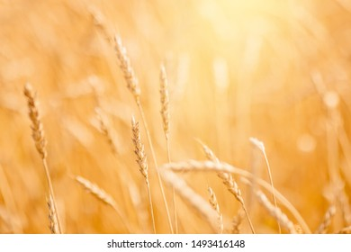 Ripe wheat field in gold color, natural sunlight background.