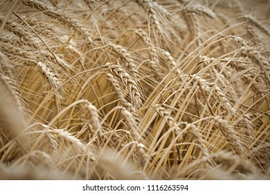 Ripe wheat field, it is time for harvest - golden grains of wheat