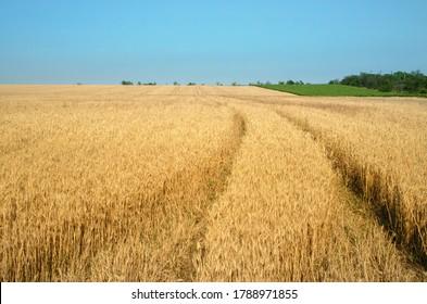 Ripe wheat field under blue sky
