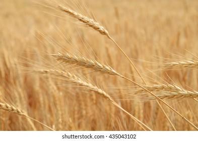 Ripe wheat macro