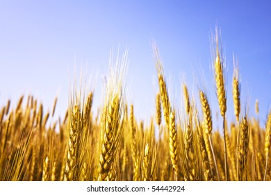 Ripe wheat on a clear summer day