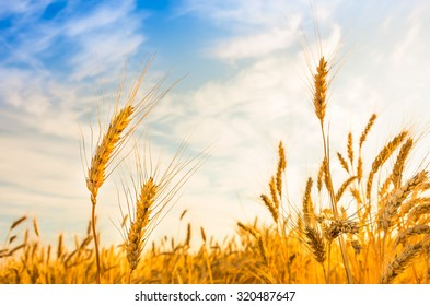 Ripe wheat on a sunny summer day against the blue sky