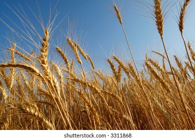 Ripe wheat, ready to be cropped