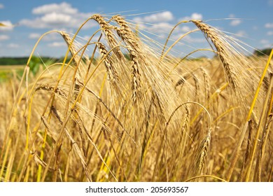 Ripe wheat waiting to be harvested on the field
