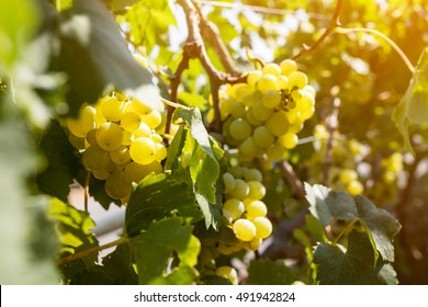 Ripe white grapes on vine brunches