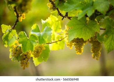 Ripe white grapes in the vineyard