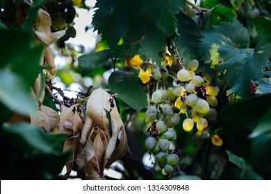 ripe white grapes in a vineyard on the Croatian island Brac