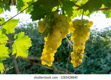Muscat Grape Images, Stock Photos & Vectors | Shutterstock