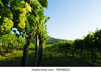 ripe white wine grapes at vineyard