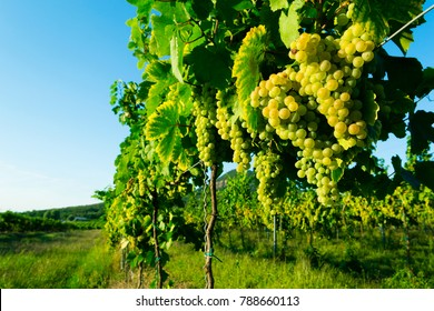ripe white wine grapes at vineyard