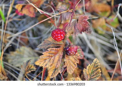 Ripe wild berry. Ripe red berry on the stems in the Taimyr tundra.