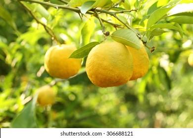 Ripe yellow fruits on Yuzu - Japanese lemon bush. Closeup