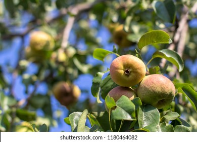 a ripe yellow pear hangs on a tree branch.