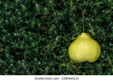 a ripe yellow pear lies on the grass.