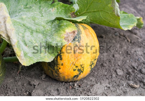 ripe-yellow-pumpkin-green-veins-600w-192