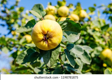 Ripe yellow quince fruit grows on a quince tree with green foliage in the summer garden