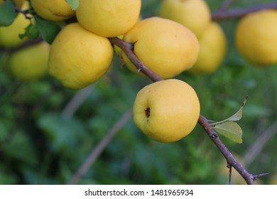 Ripe yellow quince fruit grows on a quince tree .