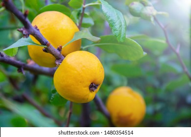 ripe yellow quince fruit on a tree in an organic garden. The quince (Cydonia oblonga) is the sole member of the genus Cydonia in the family Rosaceae (which also contains apples and pears)