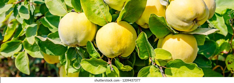 Ripe yellow quince fruits grow on tree with green foliage in the summer garden, banner