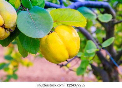 Ripe yellow quince fruits grow on a quince tree with green foliage in late autumn