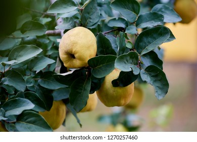 Ripe yellow quinces on tree ready to be picked