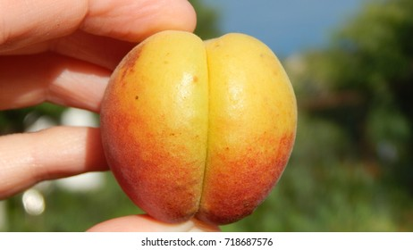 A ripe yellow and red apricot hold by hand
