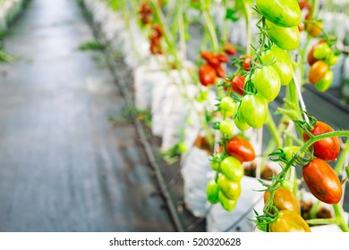 Ripe and young organic hydroponic tomatoes in tomato plants growing in a modern greenhouse farm by hydroponic system