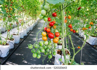 Ripe and young organic hydroponic tomatoes and tomato plants growing in a modern greenhouse farm by hydroponic system