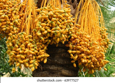 riped yellow dates hanging on the tree