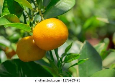 Ripen calamansi lime on tree, close up