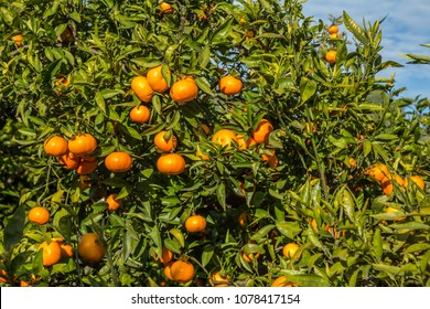 Royalty Free Clementine Tree Stock Images Photos Vectors