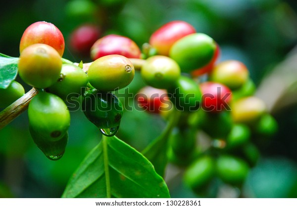 ripen coffee on stem