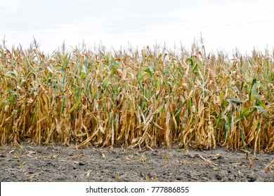 Ripened corn on the field. Almost dry stems of corn