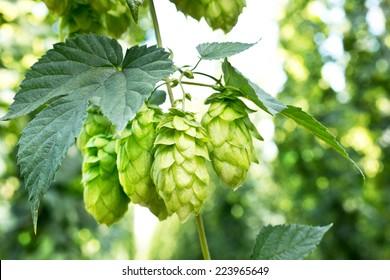 ripened hop cones