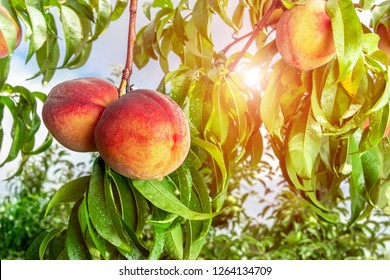 ripened peaches close-up on a tree branch with leaves. Fruit farm concept, harvesting, toning