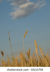 Ripened spikes of wheat field against a clear blue sky