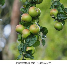 ripening apples on the branch