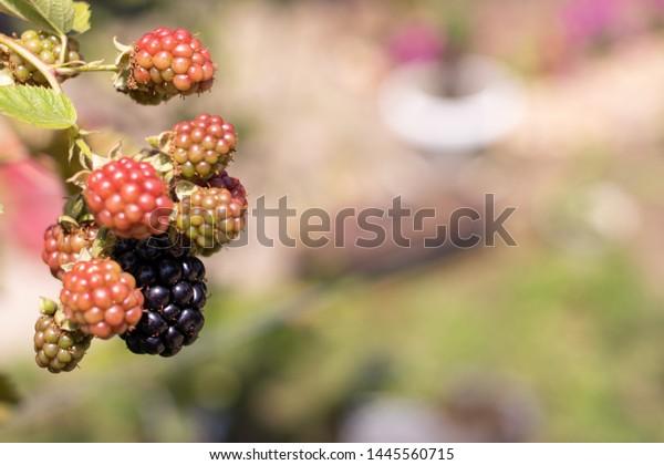 ripening-blackberry-berries-on-sunny-600