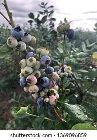 Ripening blueberries in Florida, April 2019