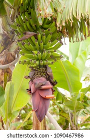 ripening cluster of green banana natura floral background