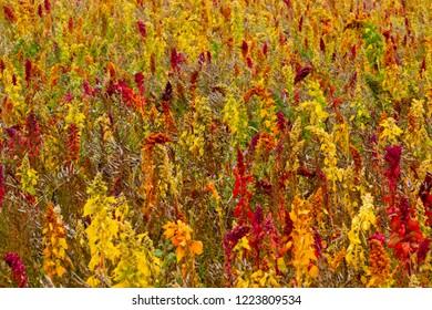 A ripening crop of Quinoa (Chenopodium quinoa), Cornwall, England, UK.