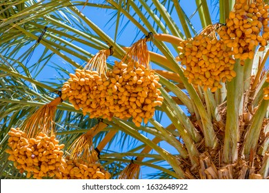 Ripening dates in plantation of date palms. Fruits of dates have important place in industrial desert agriculture of the Middle East.