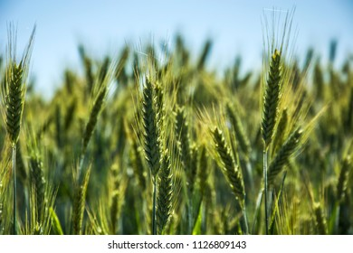 Ripening ears of gold and green triticale