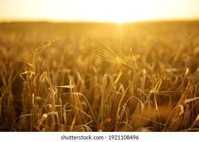 Reife Ohren von gelbem Weizenfeld auf dem Sonnenuntergang. Landschaft, Reichweite Ernte Konzept.