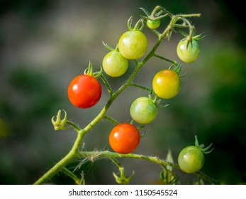 Ripening field tomatoes on the vine