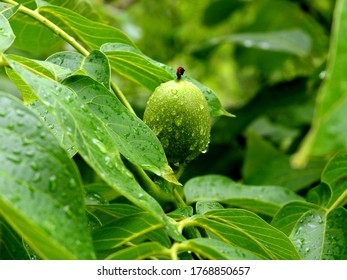 ripening fruit of the deciduous walnut tree growing in the village of Sawice village in Masovia in Poland - Shutterstock ID 1768850657