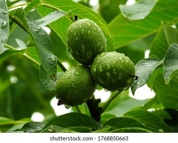 ripening fruit of the deciduous walnut tree growing in the village of Sawice village in Masovia in Poland - Shutterstock ID 1768850663