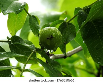 ripening fruit of the deciduous walnut tree growing in the village of Sawice village in Masovia in Poland - Shutterstock ID 1768850666