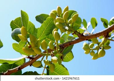 Ripening the fruit of the pistachio tree. Pistachio tree branch full of pistachio nuts